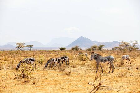 Zebras in safari park in Kenya