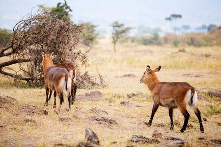 Waterbuck antelopes in Masai Mara safari park in Kenya Stockfoto