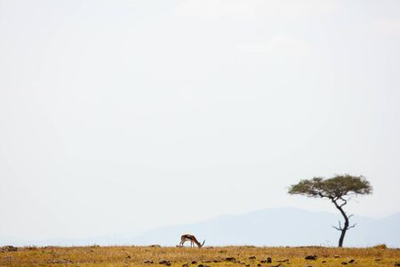 Springbok antelopes in Masai Mara safari park in Kenya