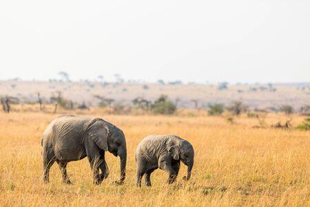 Baby elephants in safari park in Kenya Africa