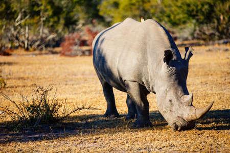 White rhino grazing in an open field in South Africa