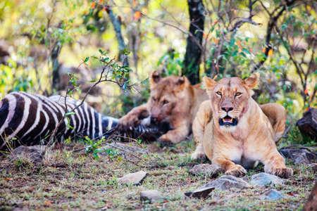 Lions feeding on zebra in Masai Mara park in Kenya