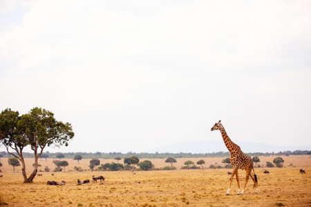 Giraffe in Masai Mara safari park in Kenya Africa Zdjęcie Seryjne