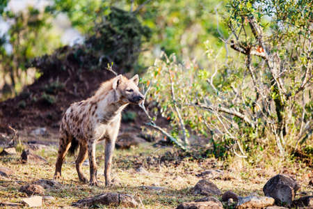 Hyena in safari park in Kenya