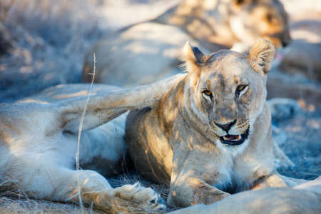 Female lions in national reserve in Namibia