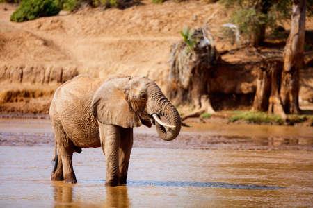 Wild elephant drinking water from river in Samburu Kenya