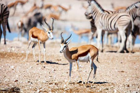 Zebras and springbok herd at Nebrownii waterhole in Etosha Namibia