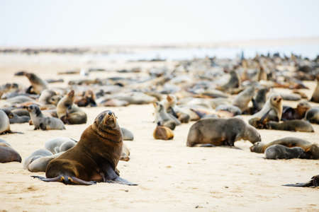 Seal colony at Pelican point coast at Walvis bay in Namibia Zdjęcie Seryjne