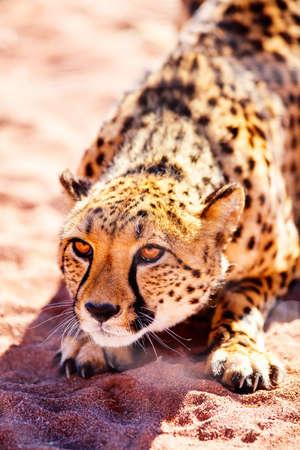 Close up of beautiful cheetah outdoor in natural environment Zdjęcie Seryjne