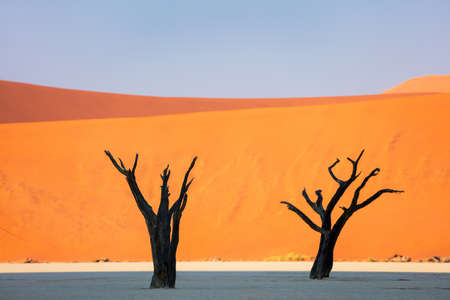 Dried out camelthorn trees against red dunes and blue sky early in the morning in Deadvlei Namibia