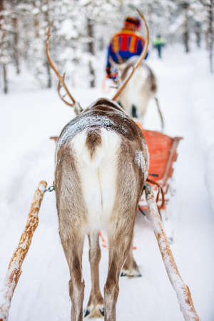 Back view of reindeer on safari in a winter forest in Finnish Lapland