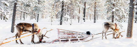Panorama of reindeer safari in a winter forest in Finnish Lapland 写真素材 - 155367371