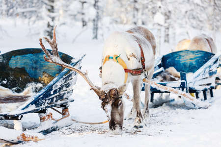 Reindeer safari in a winter forest in Finnish Lapland Zdjęcie Seryjne - 155367374