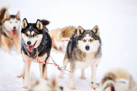 Husky dogs on winter day outdoors in Lapland Finland Standard-Bild