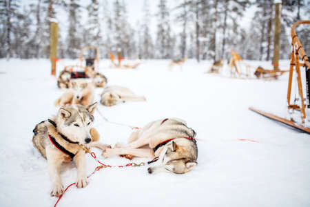 Husky dogs on winter day outdoors in Lapland Finland 写真素材