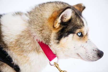 Blue eyed husky portrait close up 写真素材