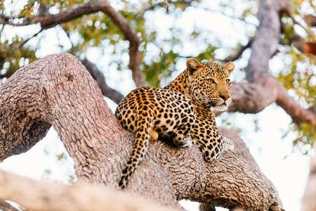 Beautiful male leopard on a tree in South Africa Zdjęcie Seryjne - 155367393