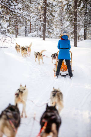 Husky dogs are pulling sledge with family at winter forest in Lapland Finland Zdjęcie Seryjne - 155326547