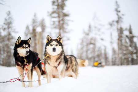 Husky dogs on winter day outdoors in Lapland Finland Фото со стока