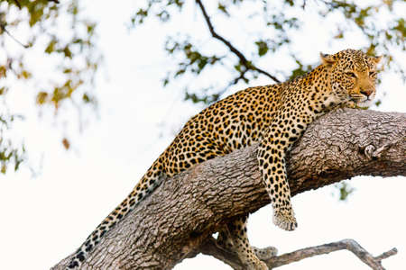 Beautiful male leopard on a tree in South Africa