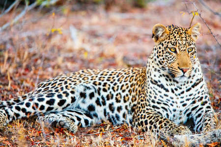Close up portrait of wild leopard seen on safari in South Africa