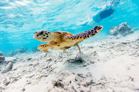 Hawksbill sea turtle swimming at coral reef in tropical ocean in Maldives 写真素材 - 155235317