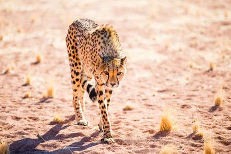 Beautiful cheetah outdoor in natural environment Zdjęcie Seryjne