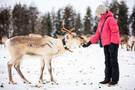 Cute pre-teen girl outdoors feeding reindeers on farm on sunny winter day in Lapland Finland 免版税图像