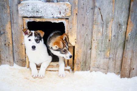 Cute husky puppies in dog house 免版税图像