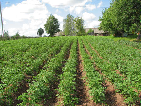 Plantings of a potato in village in the summer photo