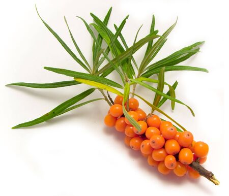 useful: Cluster mature orange sea-buckthorn berries with leaves Stock Photo