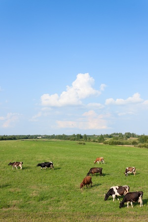 cows: Cows are grazed on a green field under the blue sky