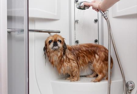 Parody Pekingese taking a shower under running water Stock Photo - 10352167