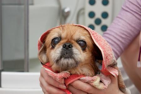 duschkabine: Das M�dchen w�scht einem Hund einen Pekinesen in einer Duschkabine