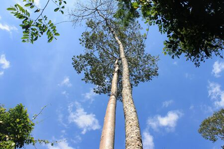Couple tree in Kaowyai Korat  thailand