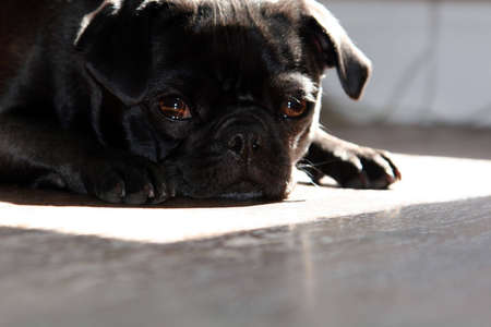 black pug dog napping in the sun Stock Photo - 2629634