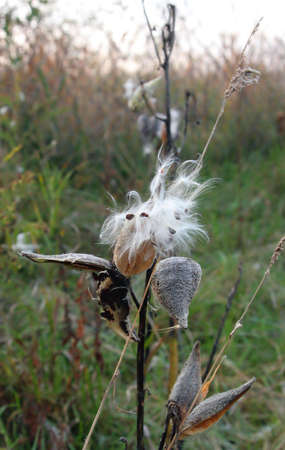 closeup of milkweed,hay fever allergy season