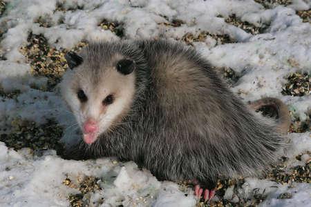 opossum: opossum eating at bird feeder