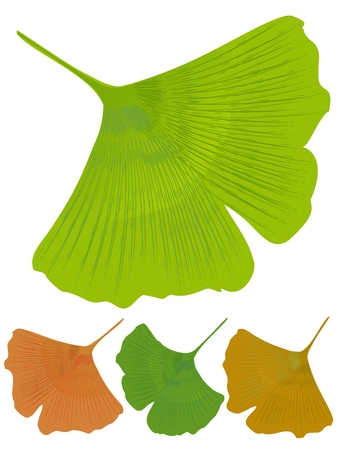 antioxidant: Isolated leaf of ginkgo biloba, medicinal tree with anti-oxidant effect. Tree color variants - green, yellow, orange