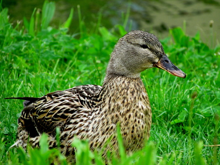 Wild duck on the meadow close-up, water bird
