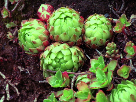 Red colored cultivar of sempervivum, a known medicinal plant, botany thema