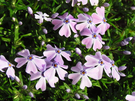 Phlox, pink variant, low cover plant, detail of blossom, small rosa flowers