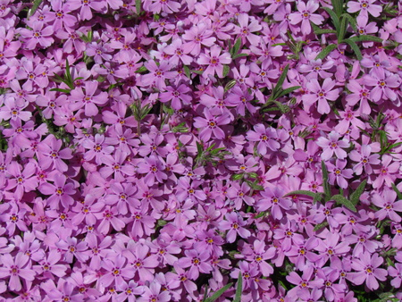 Phlox, detail of bed, pink variant, low cover plant, small rosa flowers