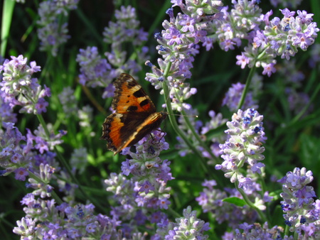 on the blooming lavender shrubs, close up Zdjęcie Seryjne