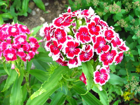Carnations, Dianthus caryophyllus, two-color inflorescences, red flowers with white border