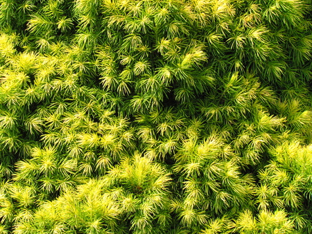 Juniper yellow needels closeup, natural phototexture, a favorite garden conifer Reklamní fotografie