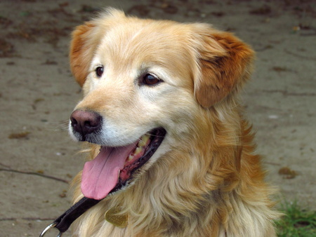 Beige dog, crossbreed of golden retriever, close-up of head Reklamní fotografie