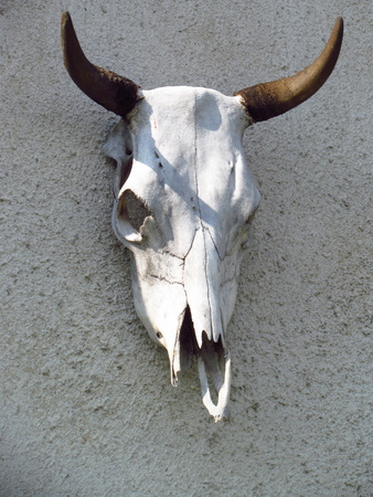 Bull skull torso mounted on a roughly plastered wall Reklamní fotografie