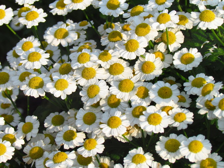 Tanacetum parthenium, also named feverfew or bachelors buttons, white blossom