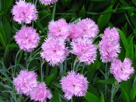 Small pink carnations tuft in green leaves, unpretentious garden plant, botanical name Dianthus caryophyllus, other names clove pink, gillyflower Reklamní fotografie